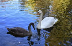 Swans lake on the pond royalty free stock photos