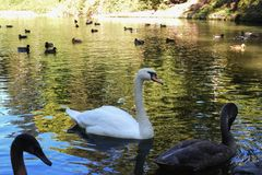 Swans lake on the pond stock photo