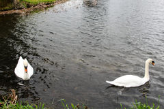 Swans  on a lake Stock Photo