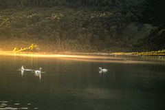 Swans on the lake royalty free stock photography