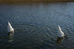 Swans. In lake searching for food underwater Royalty Free Stock Photos