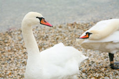 Swans on lake shore Royalty Free Stock Image