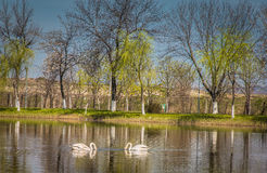Swans on the lake. Somewhere in Transylvania Royalty Free Stock Photo