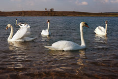 Swans on the lake Royalty Free Stock Photos