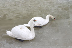 Swans on the lake in the spring Stock Photography