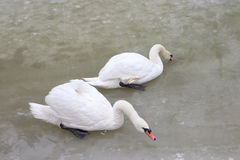 Swans on the lake in the spring Stock Images