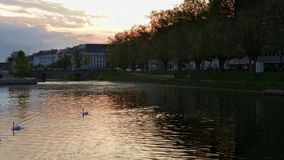 Swans on the lake in Strasbourg, sunset view stock video footage