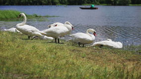 Swans on lake at sunny summer day stock footage