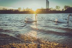 Swans on Lake at Sunrise Royalty Free Stock Photography