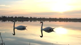 SWANs AND LAKE SUNRISE. Beautiful lake sunrise in vojvodina stock video