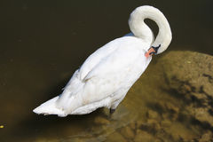 Swans on Lake. Swan on Lake Grooming Itself Reflection Royalty Free Stock Photography
