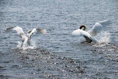 Swans on a lake. Swan on water taking flight Royalty Free Stock Photos