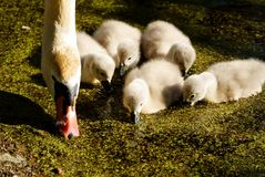 Swans on the lake. Swans with nestlings. stock photo