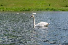 Swans on the lake. Swans with nestlings. Swan with chicks. Mute swan family stock photos