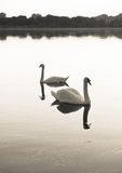 Swans on lake Stock Image