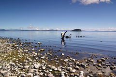 Swans On Lake Taupo. Some swans and ducks swimming on the calm lake Taupo, New Zealand Stock Photos