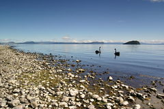 Swans On Lake Taupo. Some swans and ducks swimming on the calm lake Taupo, New Zealand Royalty Free Stock Image