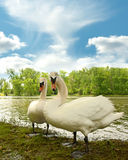 Swans by a lake Royalty Free Stock Photos
