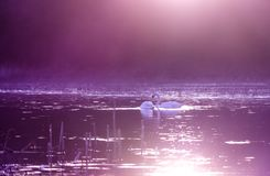 Swans on lake in violet sunset light stock photography