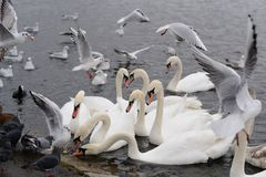 Swans in the lake Stock Photos