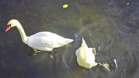 Swans in a lake. White swans in the water stock video footage