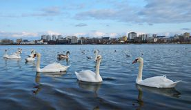 Swans on the lake Stock Photo