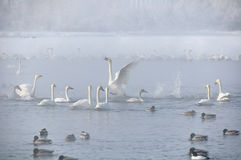 Swans lake winter misty Royalty Free Stock Photos