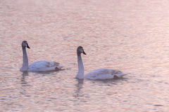 Swans lake winter pink sunset Stock Photos