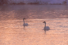 Swans lake winter pink sunset Royalty Free Stock Image