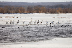 Swans on lake in winter time stock image