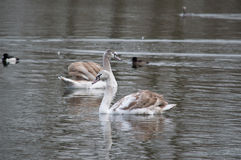 Swans on the lake in Delft, The Netherlands. Young swans on the lake in Delft - The Netherlands Stock Image