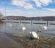 Swans on Lake Zurich in Switzerland. Swans on Lake Zurich, buildings of the city of Zurich in the background, focus on the swans. Lake Zurich is a lake Stock Image
