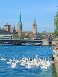 Swans on Lake Zurich Royalty Free Stock Photography