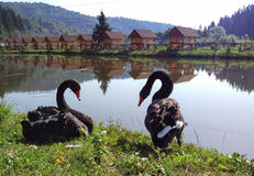 Swans, landscape. A pair of swans on the shore of a lake, a river, a beautiful landscape Royalty Free Stock Image