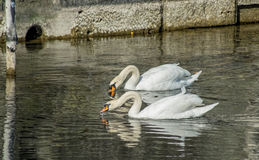 Swans on the Limmat river in Zurich Stock Image