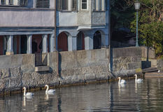 Swans on the Limmat river Stock Image