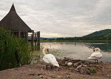 Swans at Llangorse Lake Royalty Free Stock Image
