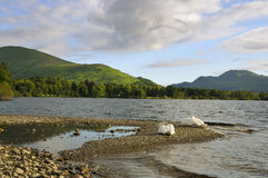 Swans on Loch Lomond Royalty Free Stock Photos