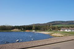 Swans at Lochore Meadows Stock Images