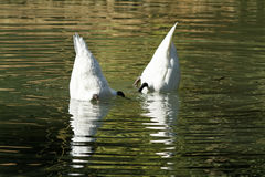 Swans are looking for food. Park, in a pond swans looking for food, swimming like floats Royalty Free Stock Photos