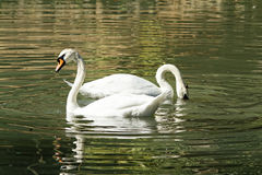 Swans are looking for food. Park, in a pond swans looking for food, swimming like floats Stock Photo