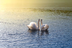 Swans looking at sunset Stock Photo