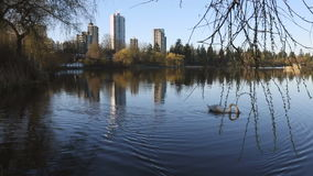 Swans in Lost Lagoon, Vancouver stock video