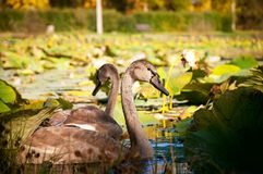 Swans at the lotus lake. Two young swans at the lake of lotuses in the middle of september Stock Photo