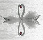 Swans Love Royalty Free Stock Image
