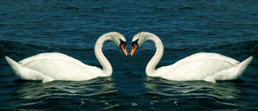 Swans in love Stock Image