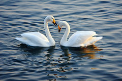 Swans in Love Royalty Free Stock Image