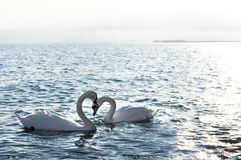 Swans in love. Swans Hearts on the sea of love forever stock images
