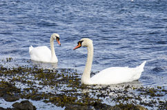 Swans in love. Denmark, Copenhagen, Swans-Mute Swans-Members of the waterfowl family Anatidae Stock Photos