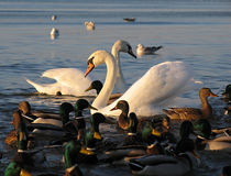 Swans in love. Two swans in the crowd of ducks Royalty Free Stock Photo